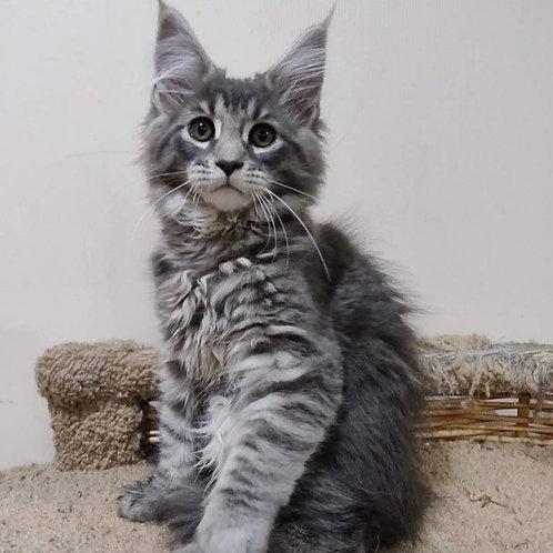 691 Favorite  Maine Coon male kitten