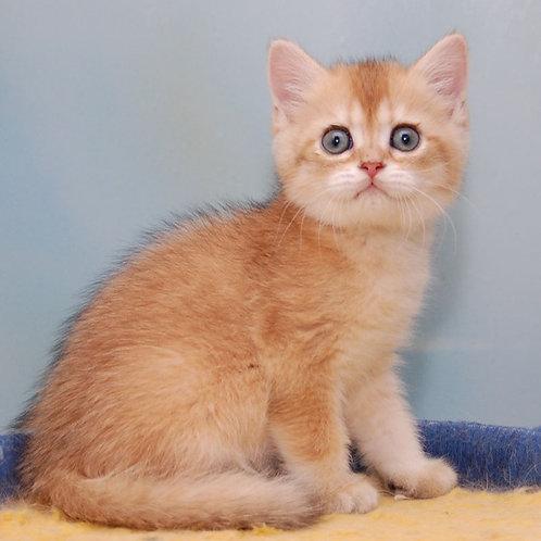 468 Zamir  Scottish straight shorthair male kitten