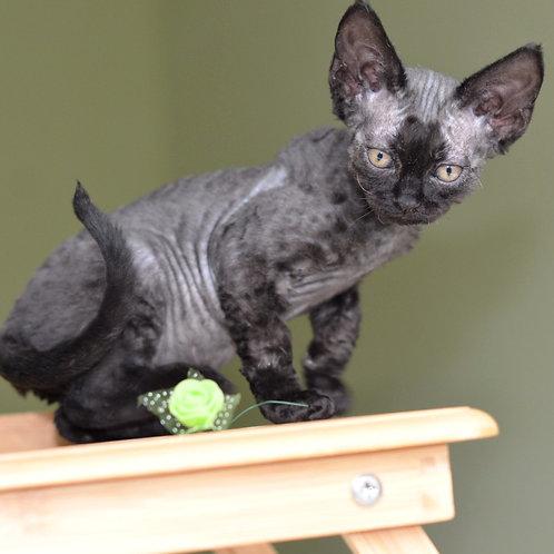 514 Regina female kitten Devon Rex
