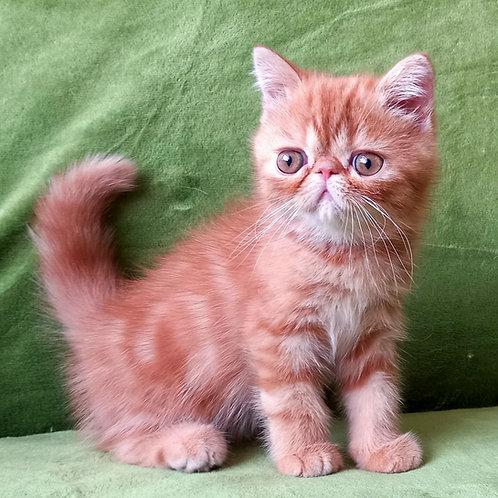 170 Inessa   Exotic  female kitten