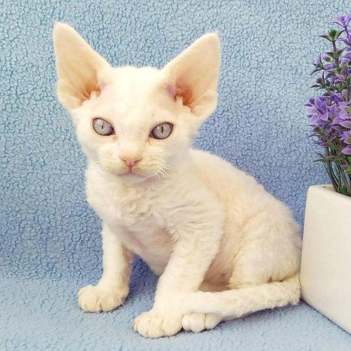 728 Istratiy  male kitten Devon Rex