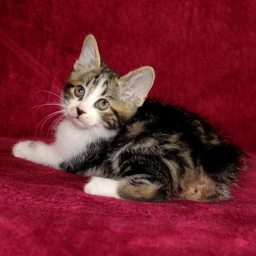 793 Krishima shorthair  Kurilian Bobtail female kitten