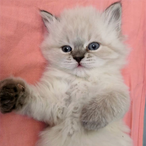 30 Edna  Siberian female kitten
