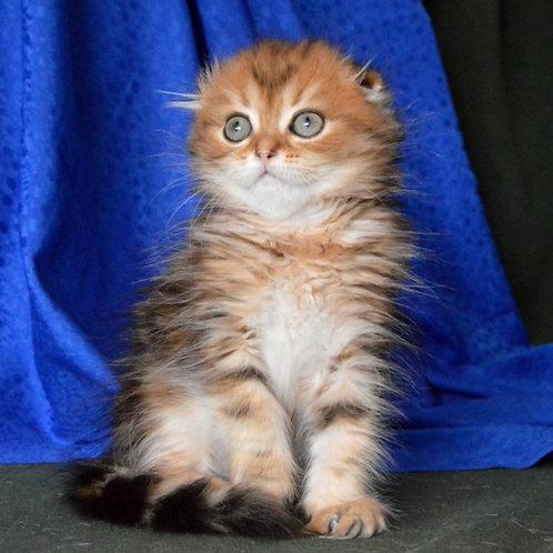 547 Visky   Scottish fold longhair male kitten