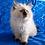 Thumbnail: 136 Jessi    Siberian female kitten