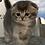 Thumbnail: 558 Barby Scottish fold shorthair female kitten