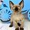 Thumbnail: 361 Clarence  female kitten Devon Rex
