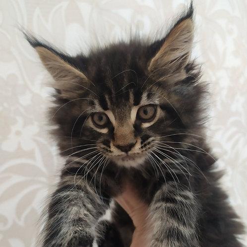 431 Arnold  Maine Coon male kitten