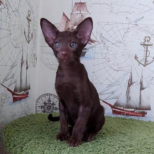 380 Valter   Oriental male kitten