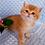 Thumbnail: 781 Emiliy  British shorthair male kitten