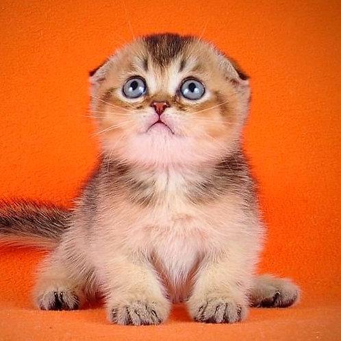1038 Nice Scottish fold shorthair male kitten