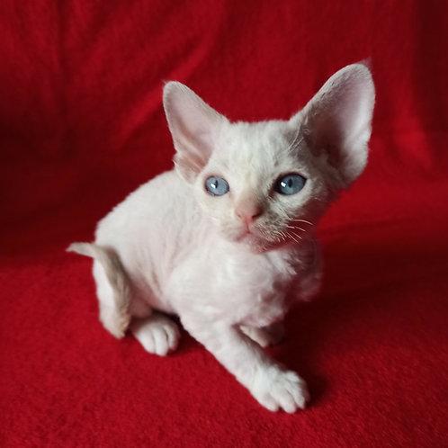 Ingrid female kitten Devon Rex