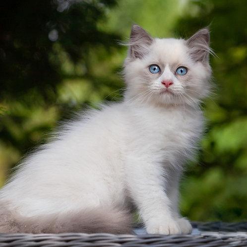 253 Bernard   Ragdoll male kitten