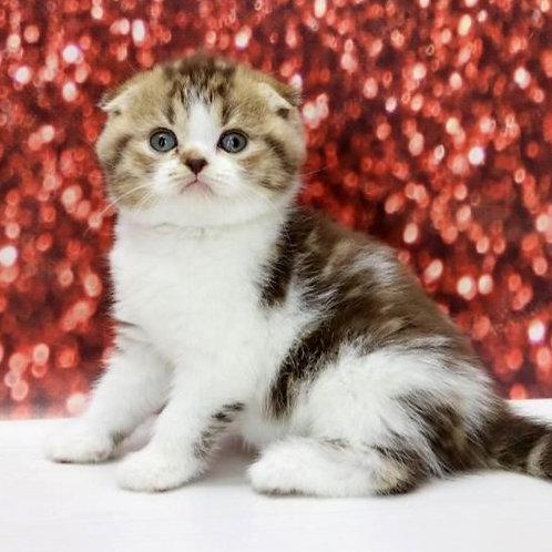 669 Caramel   Scottish fold shorthair female kitten
