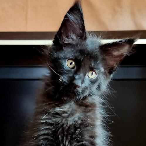 686 Balthazar  Maine Coon male kitten