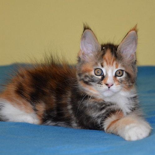 277 Gabby  Maine Coon female kitten