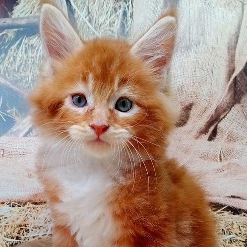 660 Noris  Maine Coon male kitten