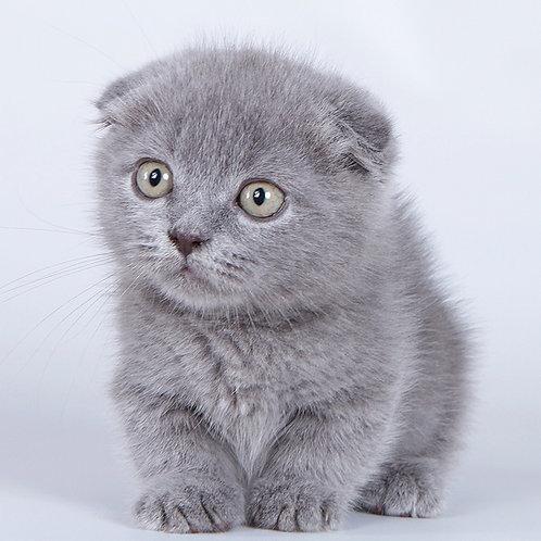 751 Ocho     Munchkin shorthair male kitten