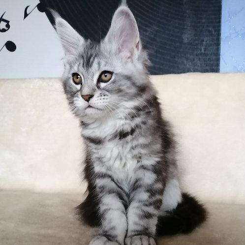 Asti Maine Coon female kitten