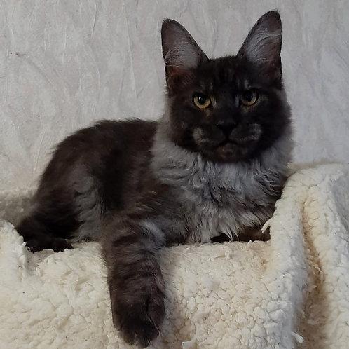 656 Jofrey Maine Coon male kitten