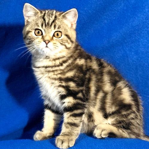 325 Baby Lee    Scottish straight shorthair female kitten