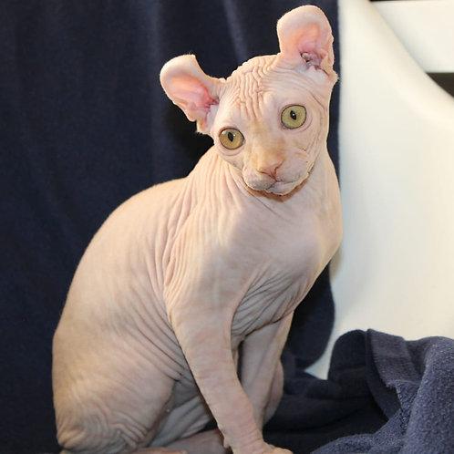 378 Uno male Elf kitten