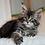 Thumbnail: 176 Sangria   Maine Coon female kitten