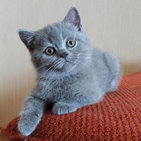 Bublik British shorthair male kitten