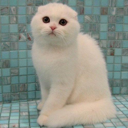 565 White Lotus  Scottish fold shorthair male kitten