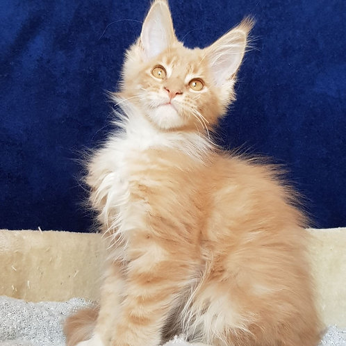 464 Anri Maine Coon male kitten