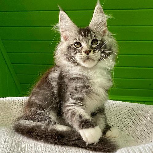 552 Zodiakal Maine Coon male kitten