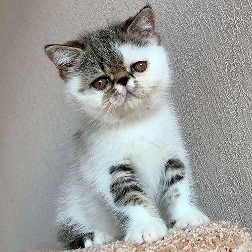 132 Stepashka    Exotic  male kitten