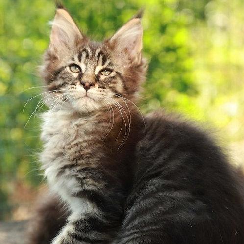 662 Izabell  Maine Coon female kitten