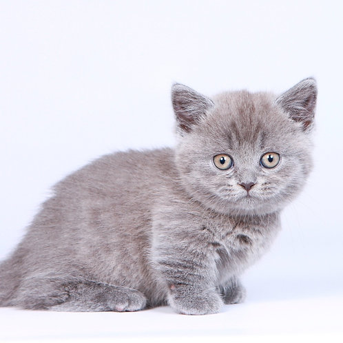 165 Kassidi   Munchkin shorthair female kitten