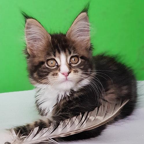 642 Palmyra  Maine Coon female kitten