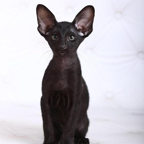 Junior Oriental male kitten