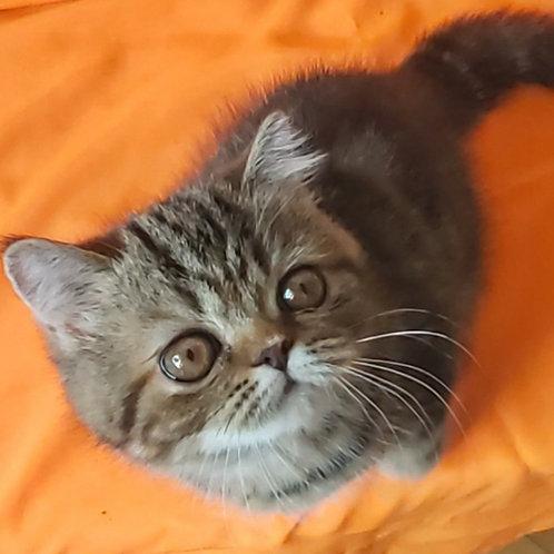 219 Kassandra Exotic  female kitten