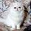 Thumbnail: 246 Orchideya Persian  female kitten