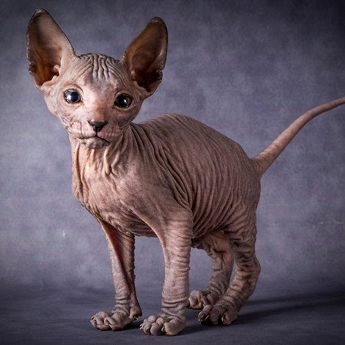 410 Efim  male Sphinx Donskoy kitten