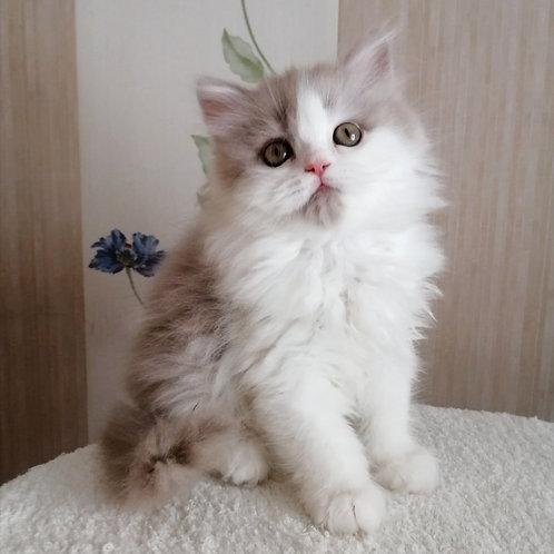 402 Quinn     Selkirk straight longhair male kitten