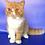 Thumbnail: 51 Benjamin   Exotic shorthair male kitten