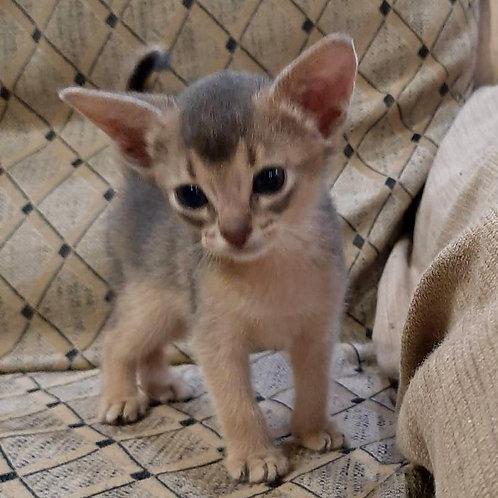 214 Jayson   purebred Abyssinian male kitten