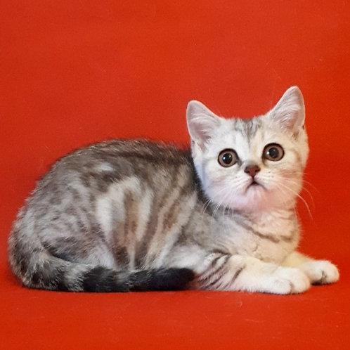 329 Bella    Scottish straight shorthair female kitten