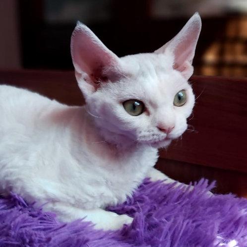 490 Andromeda   female Devon Rex kitten
