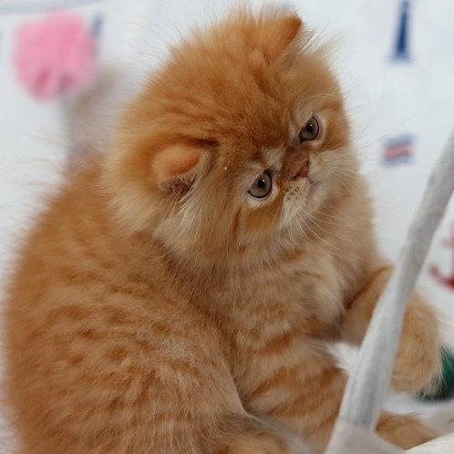 121 Greg   Persian  male kitten