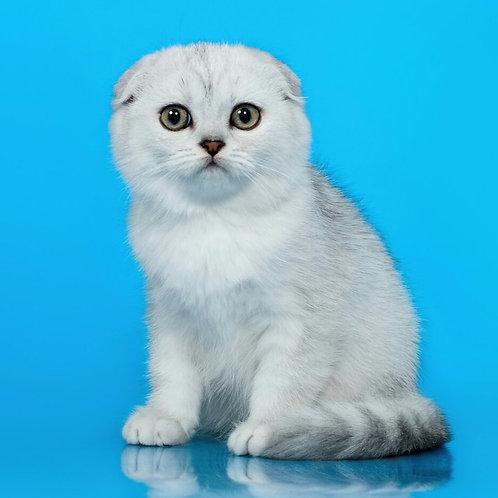 510 Elen  Scottish fold shorthair female kitten