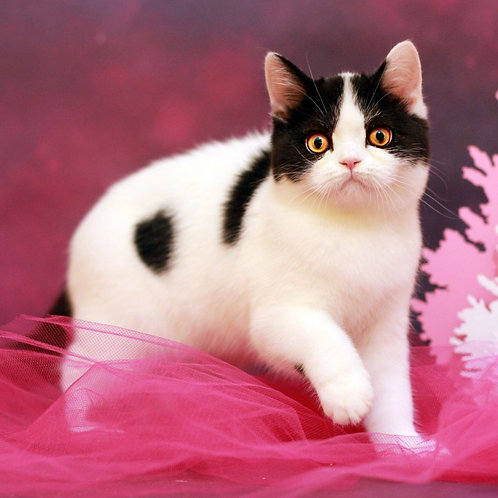 600 Morris Scottish straight shorthair male kitten