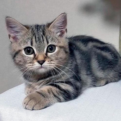 394 Ramoza  Munchkin female kitten