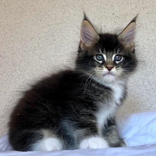 561 Alyssa  Maine Coon female kitten