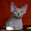 Thumbnail: 488 Keks male Bambino  kitten